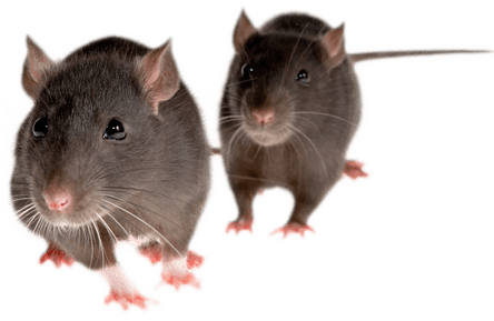 rat_mouse_PNG2456