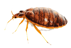 insect bedbug