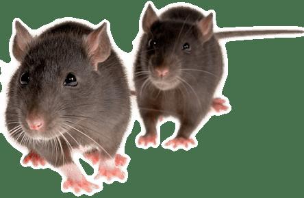 rat_mouse_PNG2456
